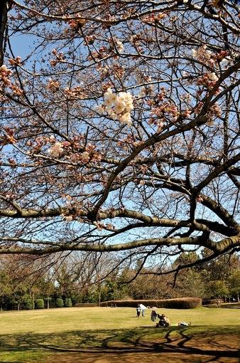 大庭城址公園の桜2015