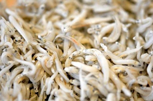 湘南片瀬浜野水産の秋〜冬の生しらすと釜揚げしらす