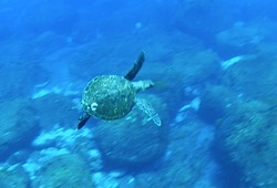 御蔵島でドルフィンスイム中に現れたウミガメ