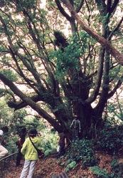 御蔵島でオオジイのトレッキング