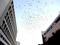 藤沢駅南口ロータリーの秋の風物詩ムクドリの群れ
