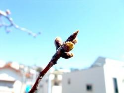 自宅の桜のつぼみ