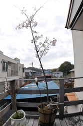 善行の自宅の桜のつぼみから開花まで2014