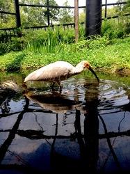 新潟県佐渡島の佐渡トキ保護センターのトキの雛