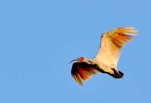新潟県佐渡島で自生する自然の天然記念物朱鷺(トキ)