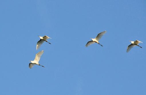 新潟県佐渡島の野生の白鷺(シラサギ)