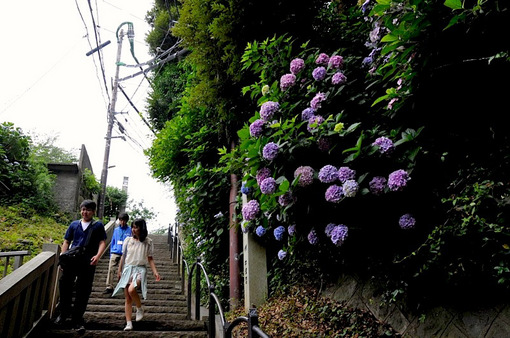 湘南藤沢江ノ島の紫陽花