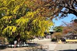 遊行寺@藤沢の大銀杏(オオイチョウ)と紅葉