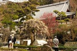 藤沢片瀬の常立寺の枝垂れ梅