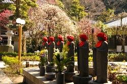藤沢の梅花散策常立寺の枝垂れ梅