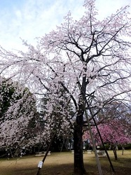 藤沢市民会館のしだれ桜