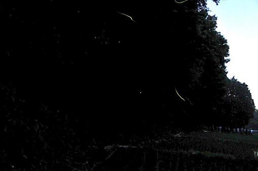 石川丸山八戸ほたるの里@藤沢でホタル(ゲンジボタル)の撮影