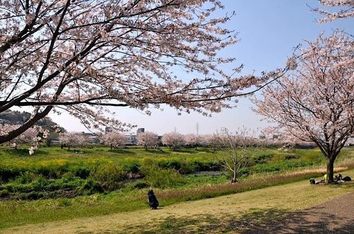 引地川親水公園@藤沢市大庭の川沿いの桜並木