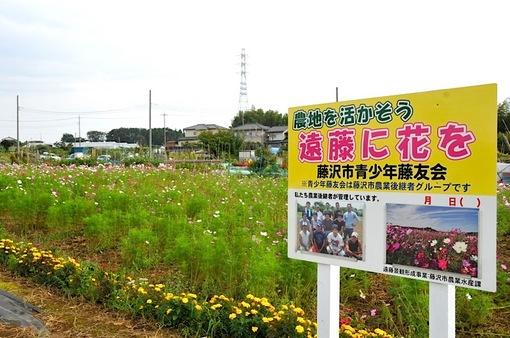 藤沢市遠藤の藤沢市青少年藤友会メンバーのコスモス畑。