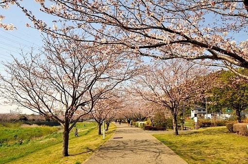 引地川親水公園@藤沢市大庭の桜並木