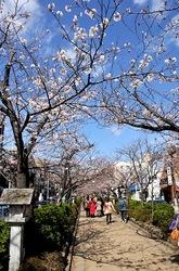 鎌倉段葛の桜