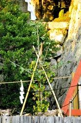鎌倉鶴岡八幡宮の紅葉大銀杏のひこばえ