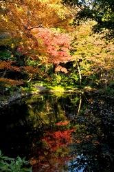 鎌倉紅葉散策鶴岡八幡宮の柳原神池のモミジ