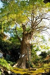 鎌倉紅葉散策の荏柄天神社のイチョウ