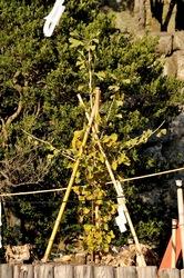 鎌倉紅葉散策鶴岡八幡宮の大銀杏のひこばえ