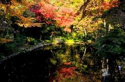 鎌倉紅葉散策の柳原神池のモミジ