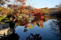 鎌倉紅葉散策の源平池のモミジ