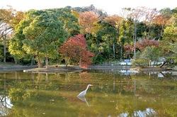 鎌倉紅葉散策鶴岡八幡宮の源平池