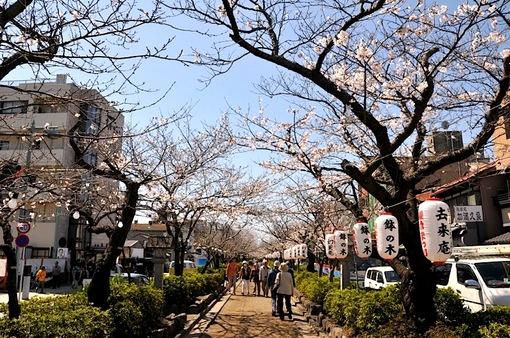 鎌倉段葛の桜並木は5〜6分咲き