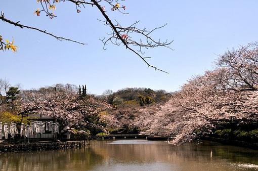 鎌倉鶴岡八幡宮源平池の桜