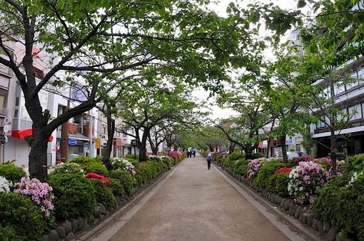 鎌倉段葛の葉桜とツツジのトンネル
