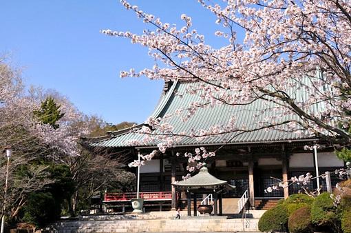 藤沢桜花チェック2014遊行寺(清浄光寺)の本堂前