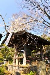 藤沢桜花チェック2014遊行寺(清浄光寺)の鐘楼前