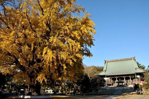 藤沢遊行寺(清浄光寺)の銀杏の紅葉が見頃2014