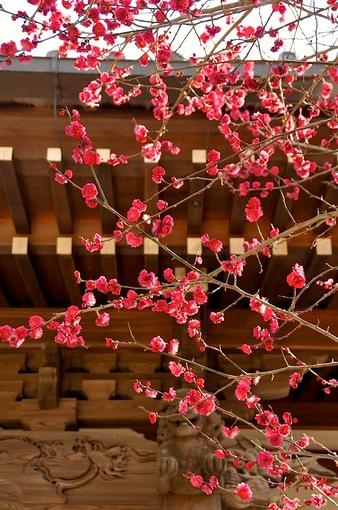 湘南・鎌倉梅花チェック2015【常立寺@片瀬】枝垂れ梅がもうすぐ満開