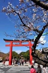 段葛からの鶴岡八幡宮の桜