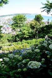 鎌倉長谷寺の眺望散策路からの海を眺める新緑と紫陽花