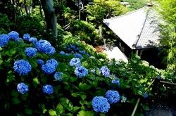 鎌倉長谷寺の眺望散策路からの新緑と紫陽花