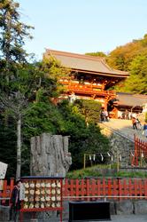 鎌倉の紅葉散策鶴岡八幡宮の本殿前の大銀杏のひこばえ