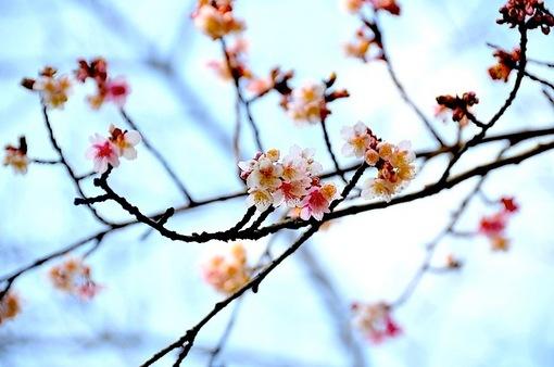 鎌倉鶴岡八幡宮で早咲きの桜が開花