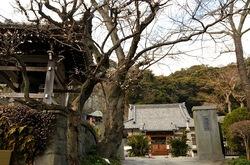 鎌倉薬王寺の梅花チェック2014