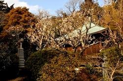 鎌倉浄光明寺の梅花チェック2014