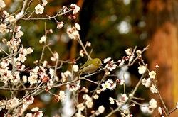 鎌倉鶴岡八幡宮の梅花とメジロ