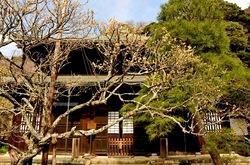 鎌倉梅花散策瑞泉寺の黄梅(おうばい)