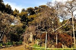 鎌倉梅花散策宝戒寺の枝垂れ梅