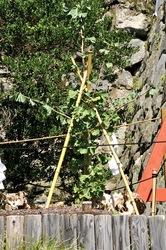 鎌倉鶴岡八幡宮大銀杏の倒木とひこばえ