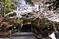 北鎌倉の桜花お花見スポット2014建長寺