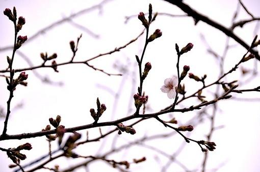鎌倉鶴岡八幡宮段葛の桜の蕾と開花