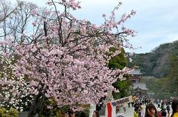 鎌倉鶴岡八幡宮の入口の桜