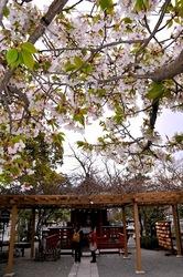 鎌倉鶴岡八幡宮の旗上弁財天社の桜