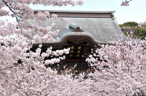 鎌倉桜花チェック2014北鎌倉建長寺の山門